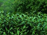 春茶最佳,夏茶最差?来看四季之茶到底有啥不同 喝茶人必读秘籍