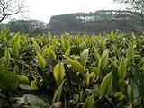 你现在到手的龙井春茶可能是假的!即时播报12大茶产区春茶产情
