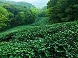 """仅设5个茶旅体验席位,邀你共同探访""""杭州G20峰会""""上的那杯龙井"""