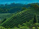 """这簇高山林间茶,竟与一个""""动植物王国""""相伴相生"""