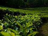 用钱真的能买到健康长寿吗?那你得先为有机茶生活买单!