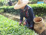 秋茶季观察:安溪铁观音陆续上市,回归传统制作,迎来品质大年!