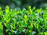茶资讯丨中国茶叶流通协会发布3月全国茶产区播报