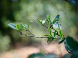 薄荷塘一二三类茶树价格首次揭秘,毛茶每公斤过两万元,收购需排队拿号