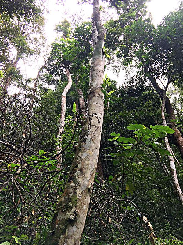 可以预见的是,在这样的生态之下,在这样的高度之上,其源于古树茶的优秀品质,独特山野韵味,只能凭借勤劳的双手才能得以品尝。