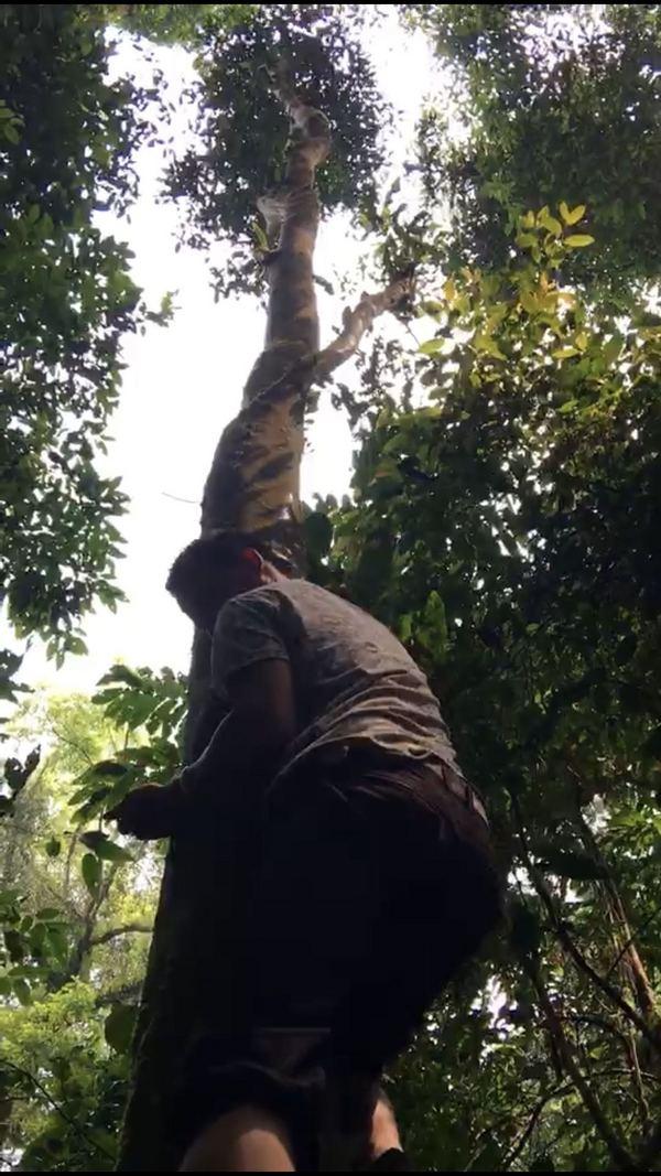 利用脚掌与大腿内侧对树干的摩擦力,怀抱树干,手臂向上拉伸。在动作的交叠之下,带动整个身体向更高处爬动,直至达到茶树分杈树枝处。