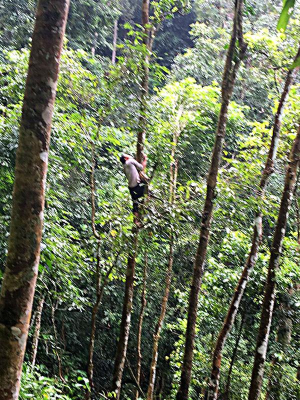 采茶人多为当地的瑶族,他们似乎是天生的攀爬高手,哪怕这些冠大叶茂的古茶树,也是信手拈来。