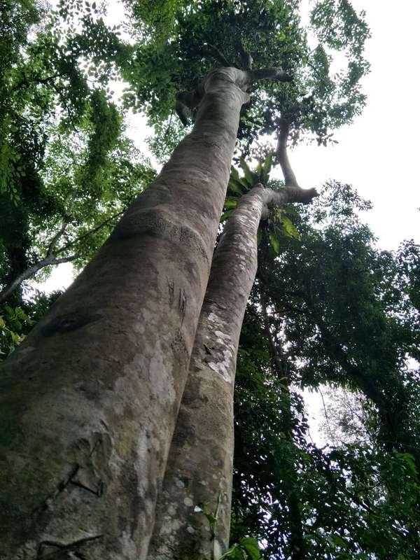 深植于这片秘境中的数十棵古茶树,平均树高在8米,大多数在10米以上,长势高大、旺盛。