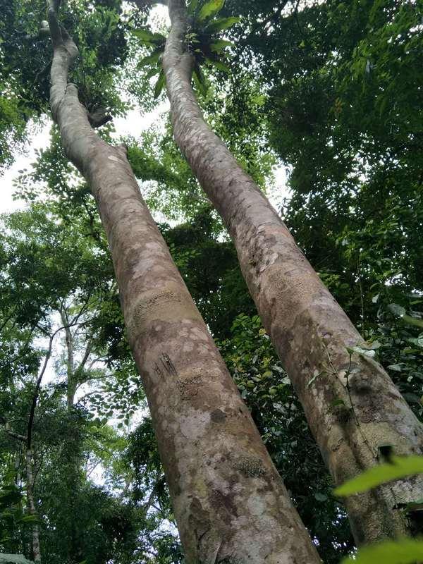 这片茶树的鲜叶制成干茶后,呈现的是驯化种的风味,不带野生过渡性茶树的性质。所以,我们认为古人曾经在此有过种植的痕迹。
