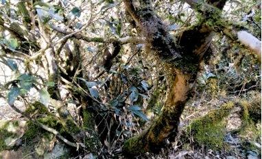 这些古老的茶树其粗大的树干,直径最大可达15厘米左右,最大的树冠需要数人拉手才能将其围合。并且,其根系特别的发达,根系的深度往往能超过树冠。