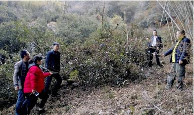 在罗盛财老师的安排下,从30棵红茶王古树里选取了10棵具有代表性的茶树进行取样调研。