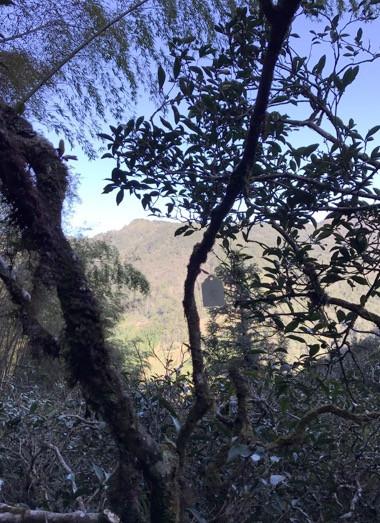 这片茶山是麻粟最早人工垦植的茶山,距今至少应该有300年的历史。