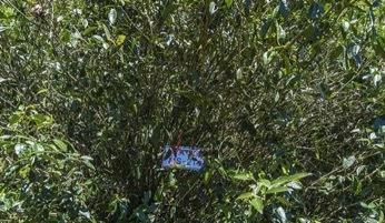 这30棵红茶王老树还有个与众不同的特点,那就是它的根系特别的发达,根系的深度往往能超过树冠
