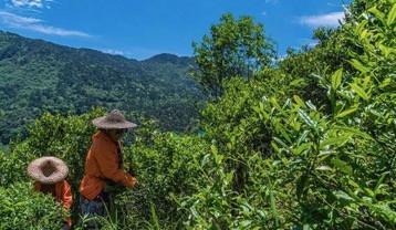 很快,这30棵明末种植下的武夷菜茶老树,成为了整个红茶圈目光与镜头的聚集点所在!