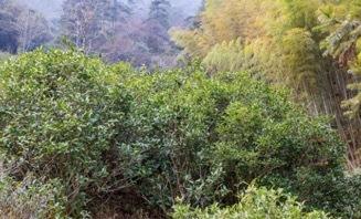 每年的秋季进行人工挖山除草,这有效地提高了茶树生长的土壤环境。