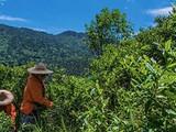 这30棵明末植下的古茶树,是你能喝到最古老的红茶滋味
