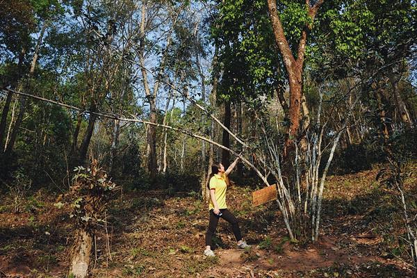 """乍一看觉得这古茶树颇为小巧,走近研究才发现约60厘米直径的树根印证着年轮,树根上发出的枝桠也是扇形式生长,并不""""高挑""""。"""