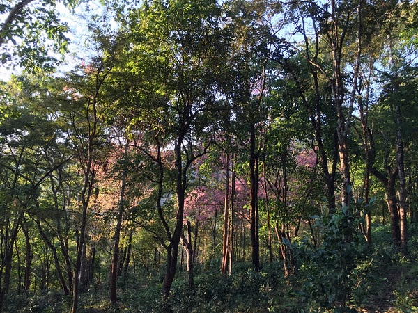 11年的时间,曼松茶园在紫红土、背阴山与王子山的贡茶王国的孕育下,最终回归曼松贡茶的怀抱。