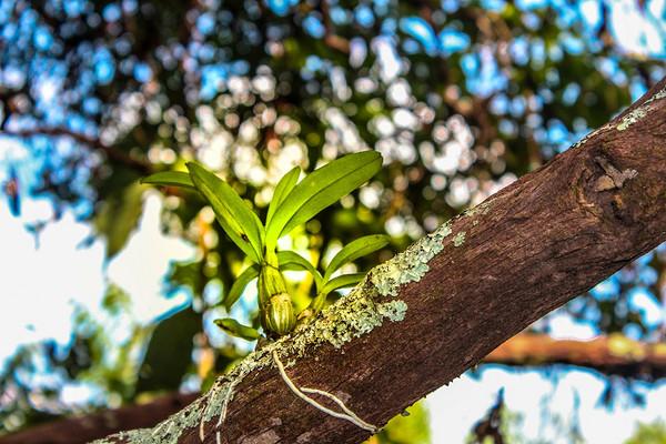隐秘在王子山、背阴山里的 327棵曼松古茶树