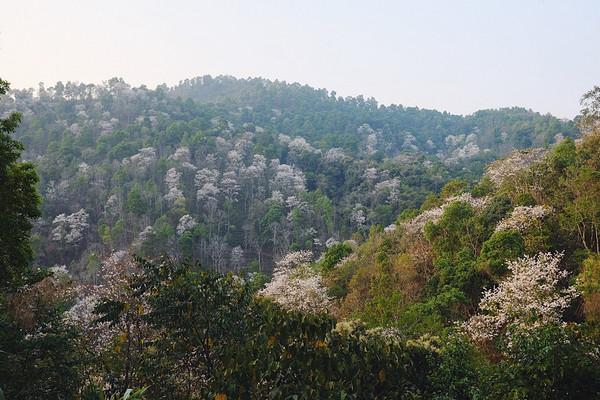 曼松原属于易武古六大茶山中倚邦的地界,现为勐腊县象明乡曼庄村委会行政管辖的自然村。