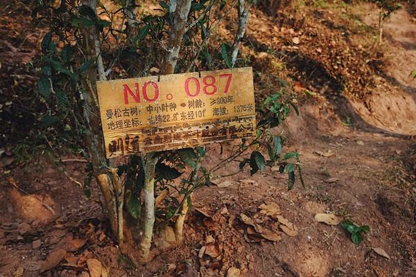 挂牌保护的曼松古树