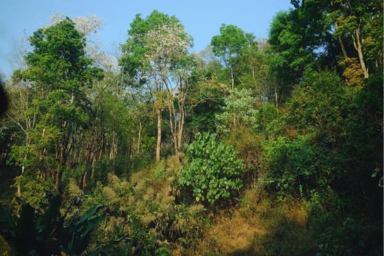 曼松,位于西双版纳勐腊县象明乡的大山深处。