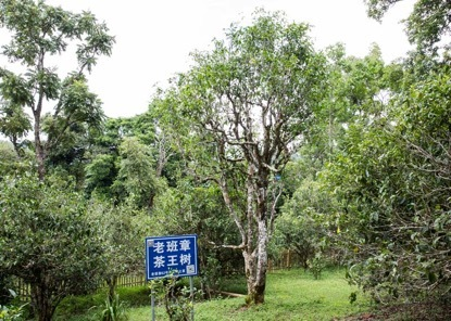 老班章茶王树