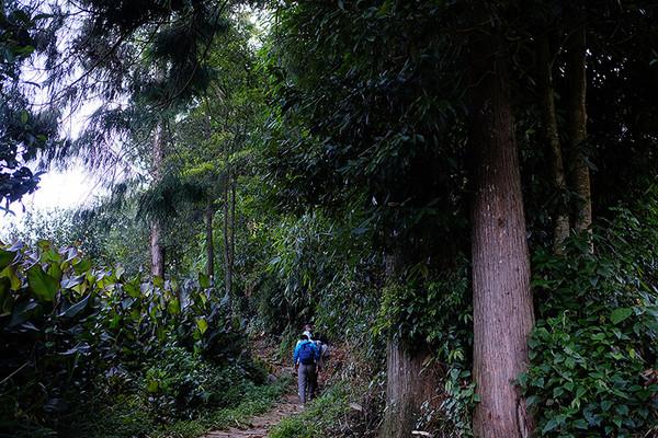 暮色将至,车停半山,一条羊肠小道铺排而下,小道两旁的古茶树也一排排次第现身。
