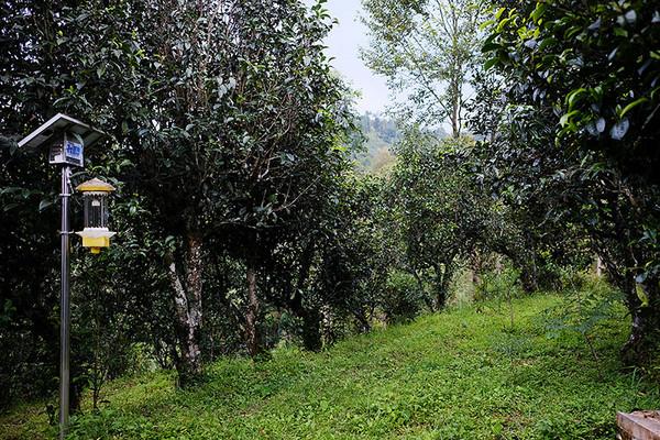 """田稳荣,昌宁县首屈一指的茶叶企业""""昌宁红""""的掌门人,也坦陈自己也不比我们知道更多。"""