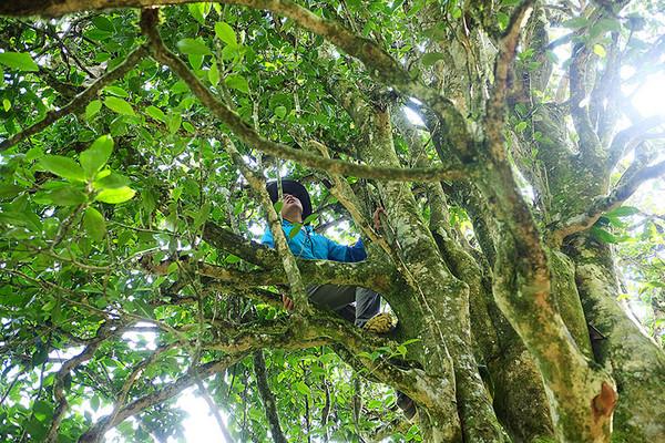 昌宁的古茶树植株主干普遍并不明显,分支部位也较低,看上去盘根错节、蜿蜒交错,像一把把耄耋老人的胡须,古态盎然。
