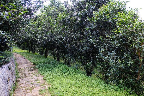 脚下这片古茶园,和周边目光所及、以及所不及之处的山林里,种植的古茶树大约有3万余棵