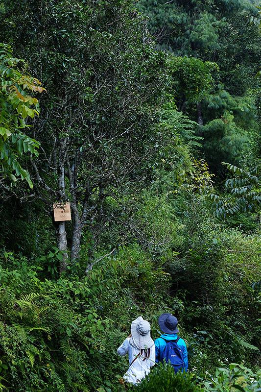 因为年代的久远,树种和来源也变得含糊和不可考,但它们都代表了不同的原生品种来源,对茶叶的进化和演变,有很高的研究价值。