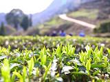 春茶即时报:全国26个茶产区播报,普洱产区大树未开采,绿茶产区基本开采…