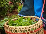 又涨价了!普洱头春茶同比减产50%,导致微小区域价格上浮,薄荷塘一类鲜叶需当面议价