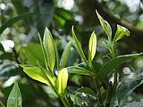 刮风寨茶农把我的茶王树掉包了,交易之地再无净土?