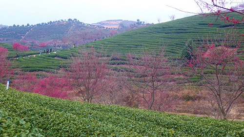 很适宜茶树的生长