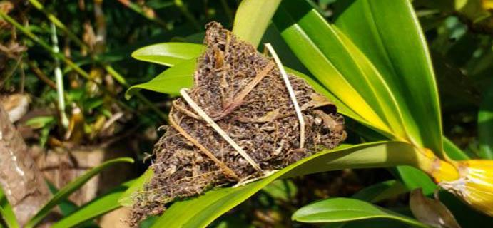 学茶   虫蛀的粽子茶  粽子茶是用大叶种叶子包的生晒青毛茶。