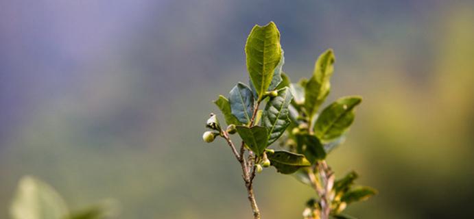 学茶 |茶知识  区分正山小种红茶优劣的特征,你知道吗?