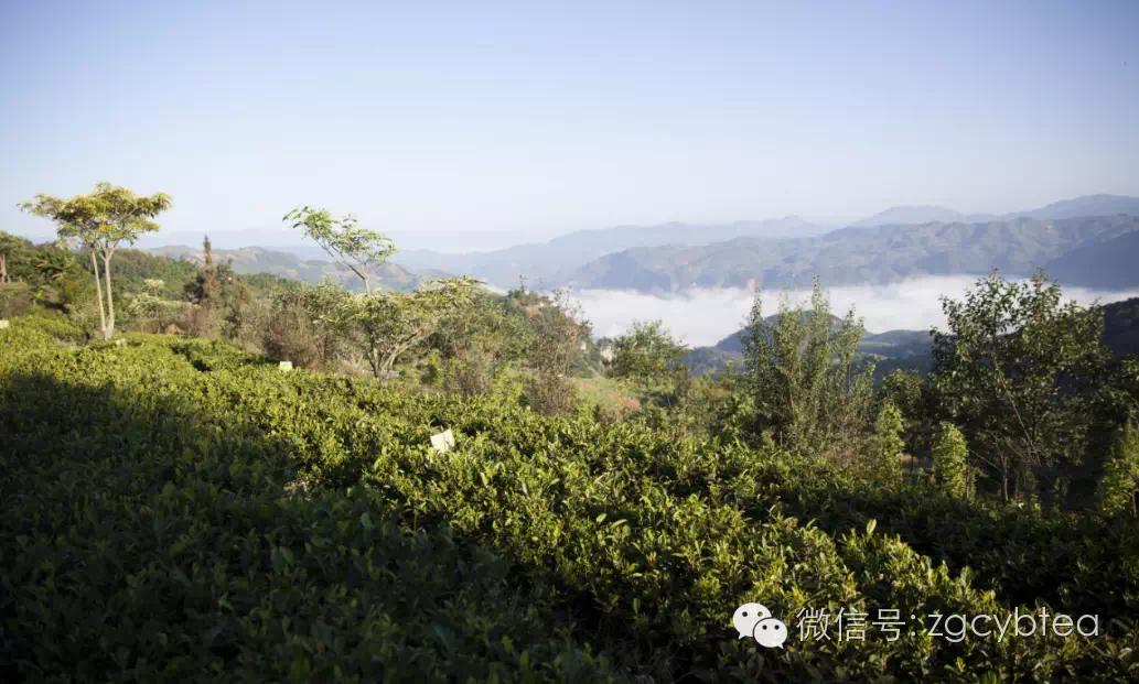这片海拔1800米的边境有机茶园,第一威胁不是虫,而是野熊!
