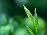 陈树福手制定心境界绿茶