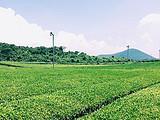 听说中国游客去济州岛最多的是看茶园