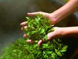 绿茶的特点与识别(1)