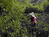 麻粟老丛红茶-武夷山桐木关自然保护区