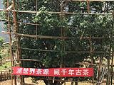 世界茶源,源于云南