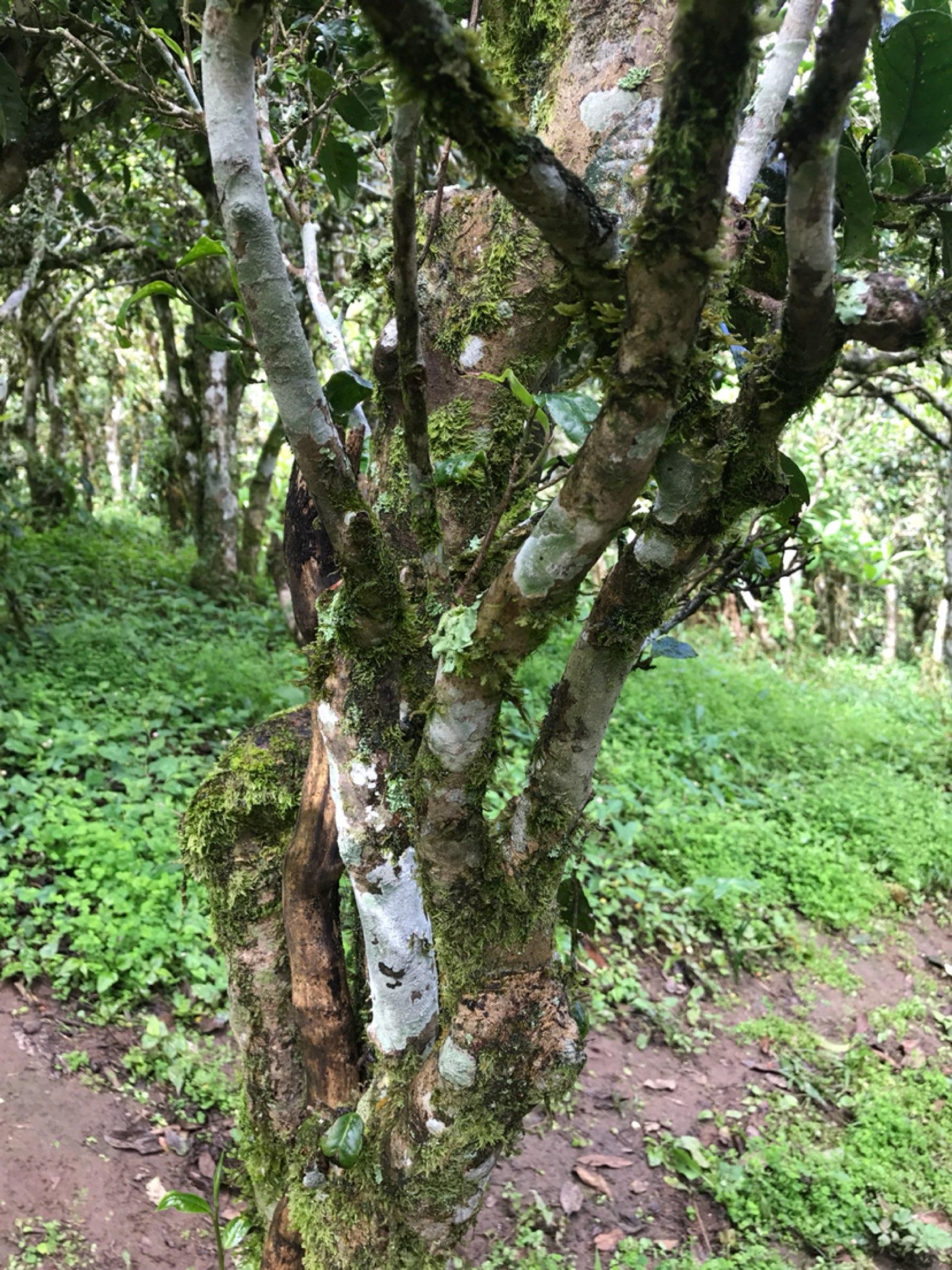 关于古树的一点心得