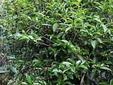 偶遇野生茶树