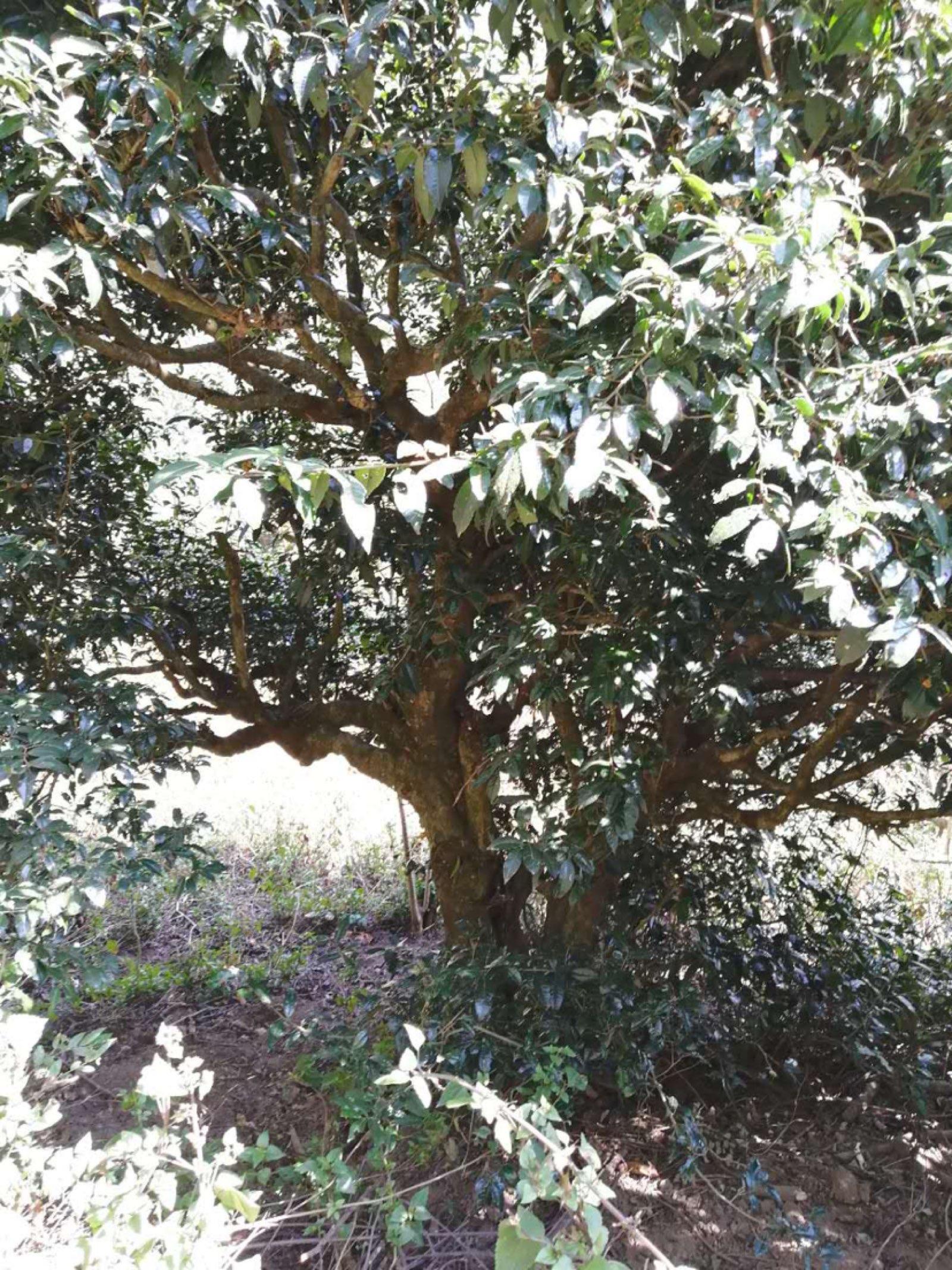 古树茶生态环境!