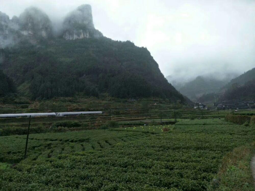 吕洞山下黄金茶