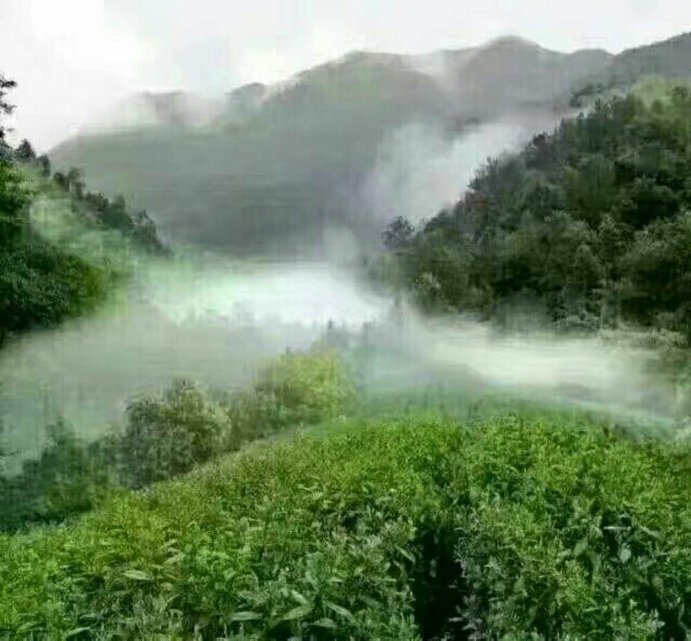 高山云雾茶《黄石溪名茶》
