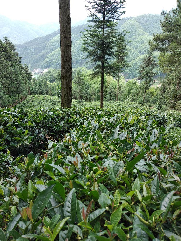山上美丽茶园,山下荷塘月色。